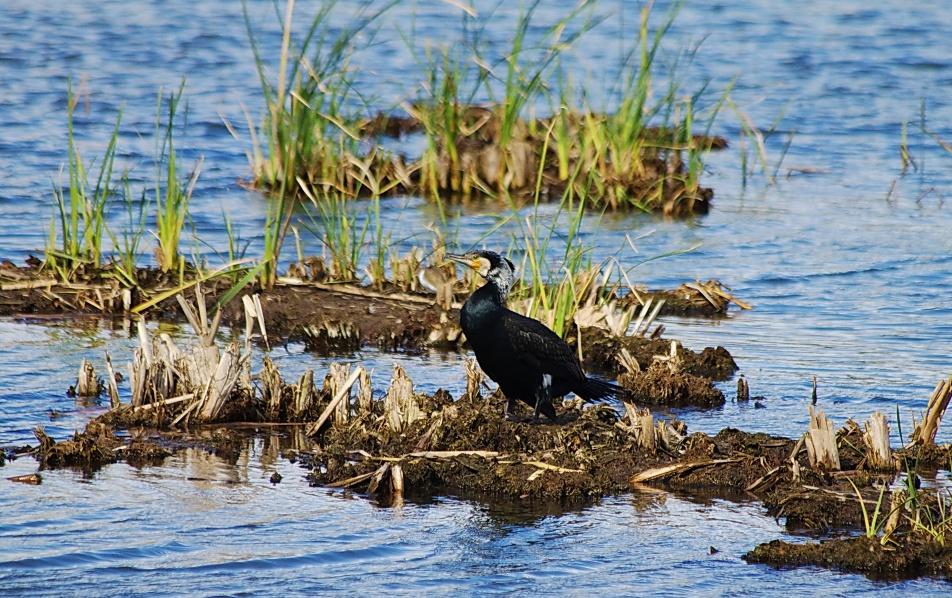 corvo marinho